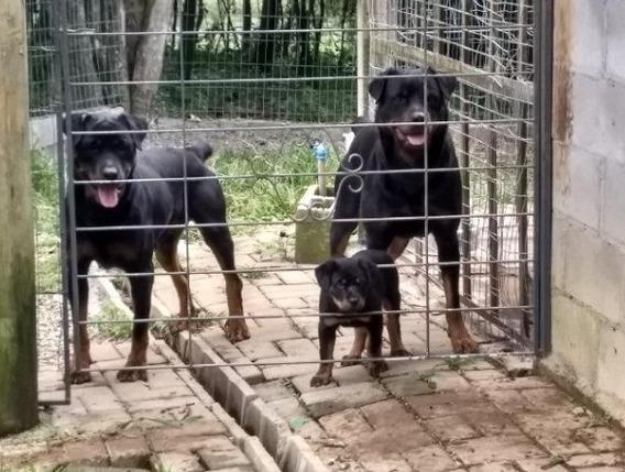 Canil Filhotes De Rottweiler Cabeção Lindos Porte Gigante