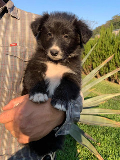 Vendo Cachorros De Raza Border Collie