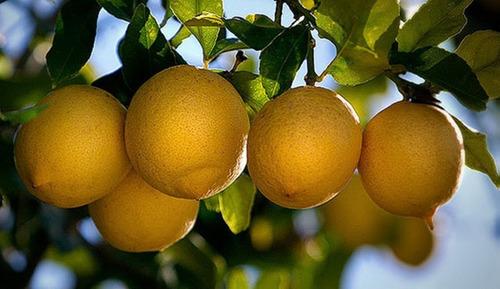 Arbol De Limonero Cuatro Limon 4 Estaciones Genova Injertado
