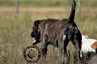 Dogo Canario Antiguo Presa Canario Fca Fci Video
