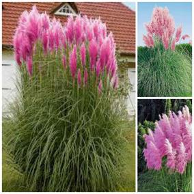 Capim Dos Pampas Grass 10 Sementes Cortaderia Pink