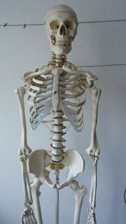 Esqueleto Humano Anatómico