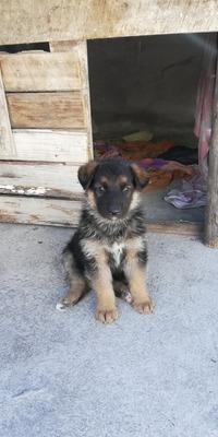 Cachorros Pastores Aleman F