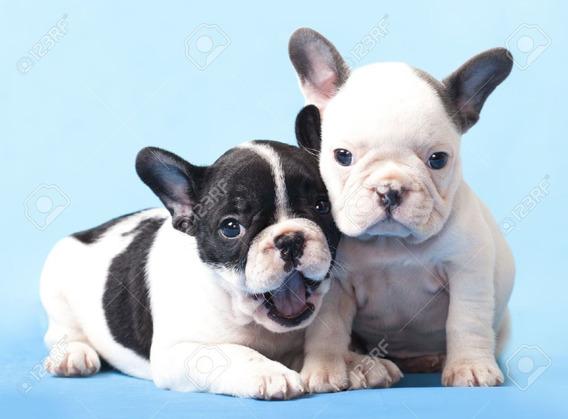 Cachorros Bulldog Francés Saludables Listos