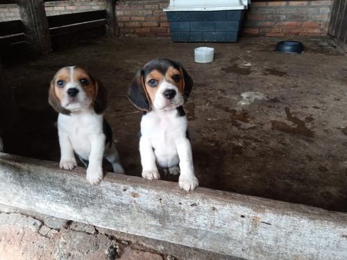 Imagem 1 de 5 de Beagles Macho