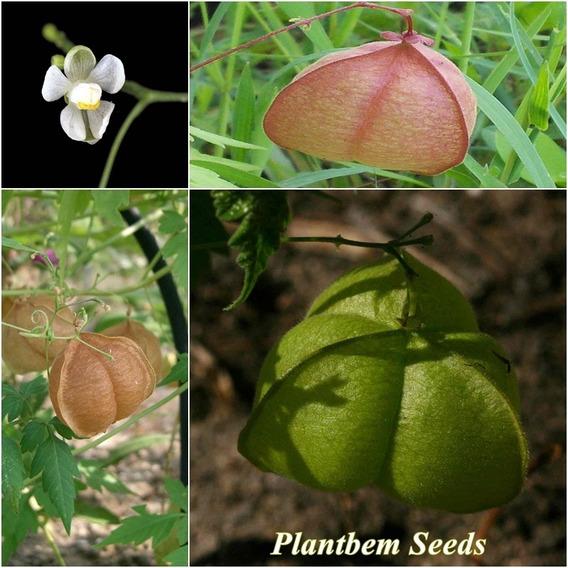 50 Sementes Planta Balão Balãozinho - Cardiospermum Corindum