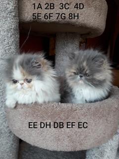 Los Mejores Gatitos Persas