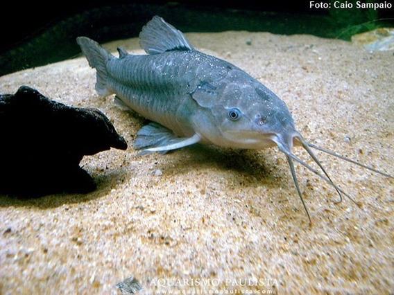 Peixe Camboja M