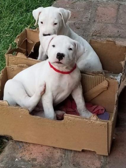 Cachorro Dogo Argentino Macho