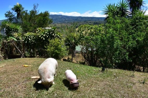 Cerdito Mini Pig.