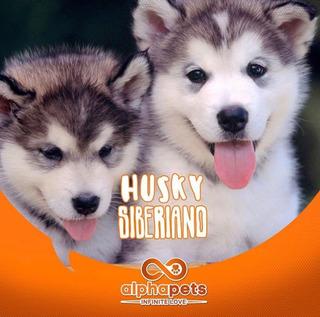 Cachorros Husky Siberiano Seleccionados A1 Paga En 12 Meses