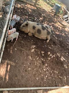 Cerdo Vietnamita Mini Pigs