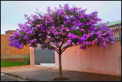 250 Sementes Quaresmeira Roxa Tibouchina Granulosa Flor P/ Mudas Frete Barato Envio Imediato