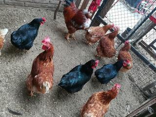 Huevos Fertil De Gallina