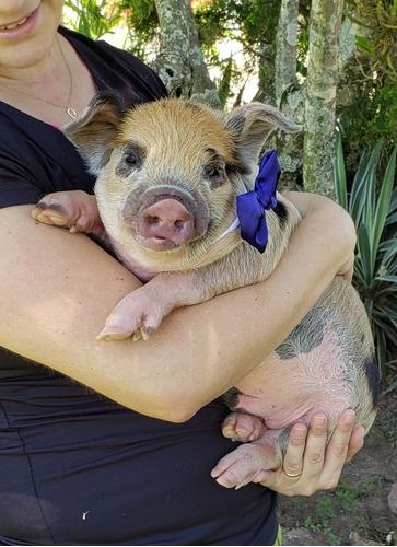 Mini Pig. Micro Pig. Mini Porco.