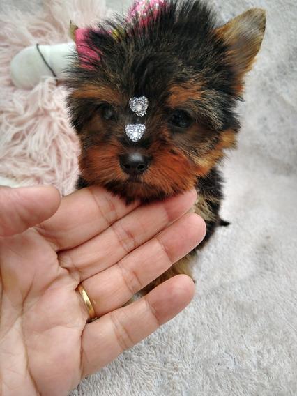 Yorkshire Terrier Fêmea Micr Canil Cibelle Cerrato Filhotes