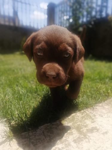 Cachorros Labrador Retriever Chocolate Padres Con Pedigree