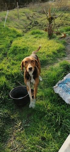 Imagen 1 de 10 de  Cachorros Foxhaund Viadero Cruza Con Dogo Galgo