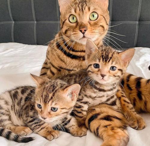 Gatos Raza Bengalí