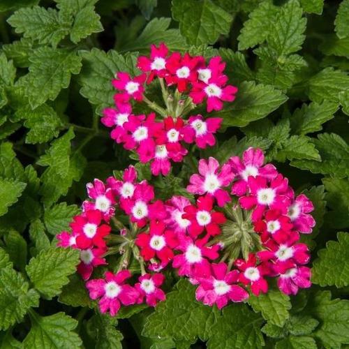 200 Semillas Flor Verbena + Obsequio Germinación