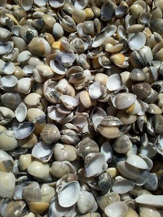 Conchas Do Mar Atacado
