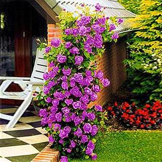 10 Semillas De Rosas Trepadora Lila Cultivo Jardin Siembra