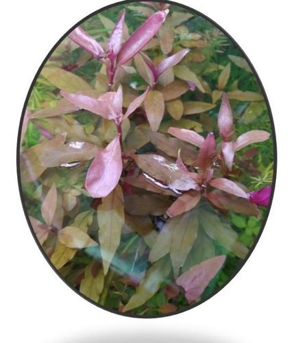 Alternatera Reineckii, Planta Natural Para Acuarios