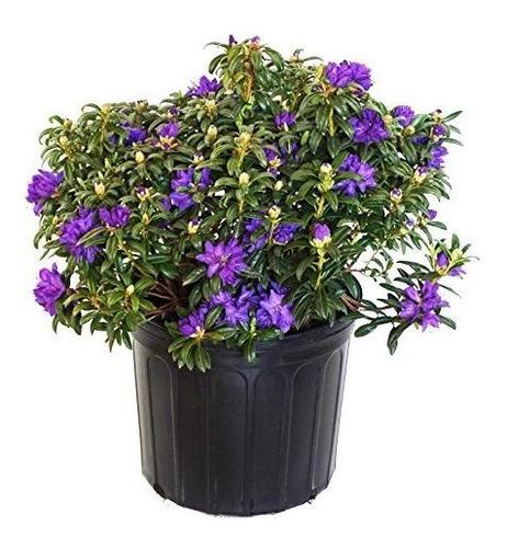 Rododendro X Blue Baron Rhododendron Evergreen Bluish Purple