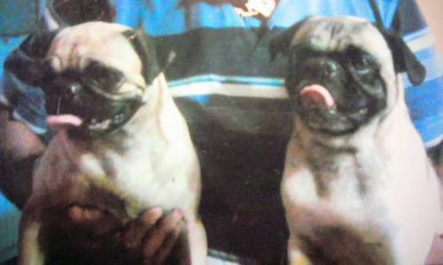 Cachorros Pug O Carlino Tipo Albaricoque