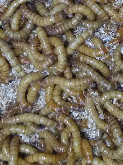 Larvas Tenebrio 100larvas. Frete Grátis. Fazenda Grilo Manso
