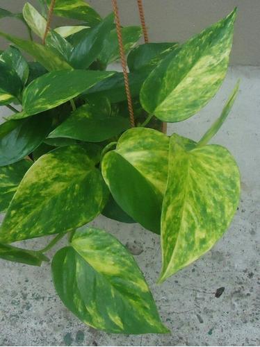 Imagen 1 de 3 de Planta Purificadora Del Aire!! Potus Ideal Oficinas, Locales