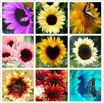 Imagem 1 de 9 de 50 Sementes Girassol Colorido 10 Variedades + Brinde