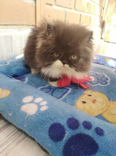 Hermosos Y Exclusivos Gatos Himalayos Y Persas Extremos!!!