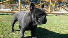 Bull Dog Frances Para Inseminación .chato Y Macizo $ 2000