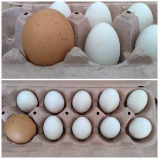 Huevos Fértiles Gallinas Sebright Plata Docena