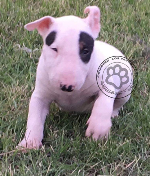 Bull Terrier Cachorro Pedigree Fca Pirata Macho