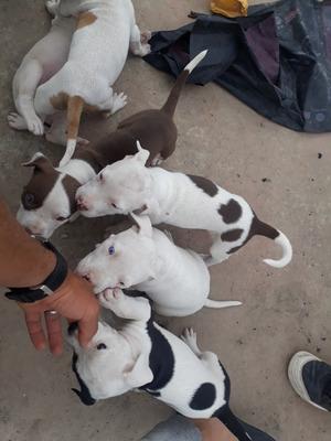 Vendo Cachorros Pitbulls Buen Precio