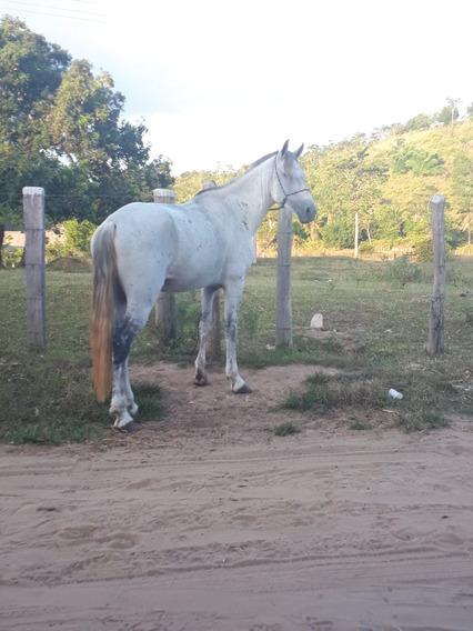 Cavalo Mangalarga Marchador (marcha Batida) Registrado
