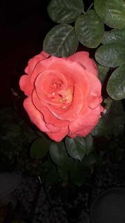 Vendo Rosales Naturales