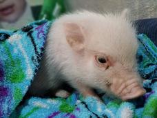 Mini Pig Teacup
