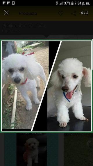 Cachorro Frenchs Poodle