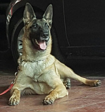 Servicio De Perro Pastor Belga Malinois.