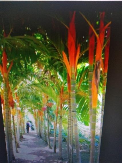10 Mudas De Palmeira Jussara (50cm) Com Frete Grátis