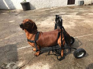 Andadera Para Perros Gatos Arnes Silla De Ruedas