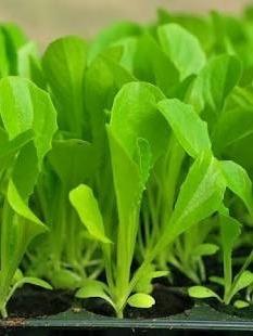 Plantines De Lechuga Orejona Y Tipo Bola Orgánicas .