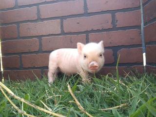Mini Pigs Minipig Minipigs Apartados