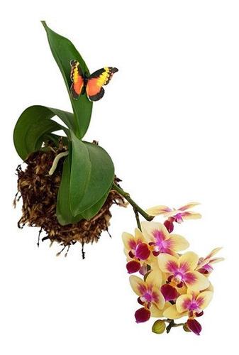 Imagem 1 de 5 de Arranjo Floral Kokedama Orquídea Phalaenopsis Mini Amarela