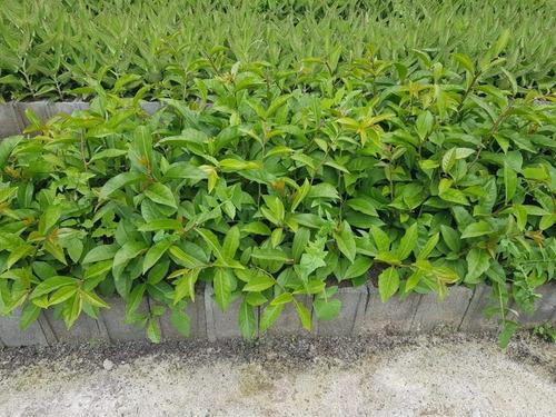 02 Muda De Ora-pro-nóbis- A Planta Com 25% De Proteína