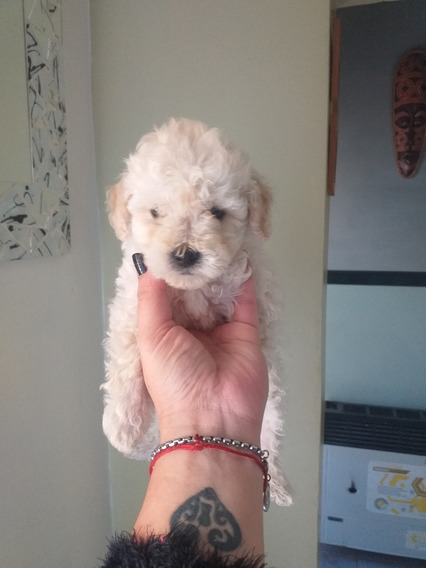 Caniche Toy Hembras