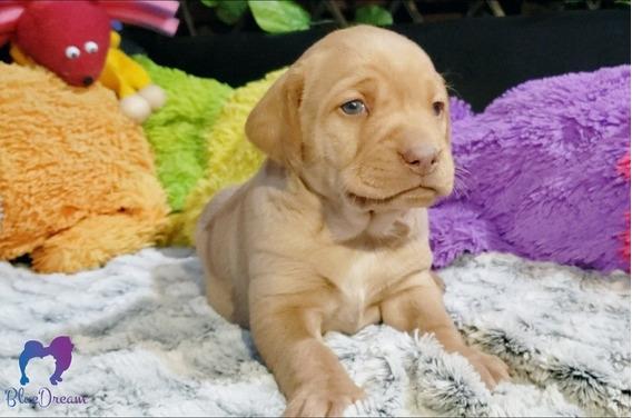 Cachorros Labradores De Ojos Claros. Hermosos! Envios/cuotas